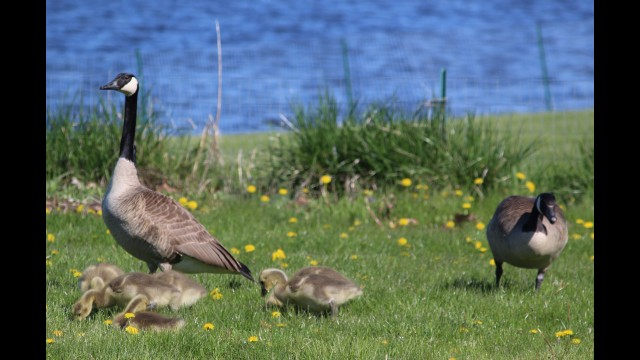 A pair of Canadian geese, along with their goslings, roam around a grassy area in Smalley Park on May 13 looking for food. The geese have long been an issue for the city of Shawano at the park and Huckleberry Harbor, and after years of trying more humane methods, the Shawano Common Council approved asking the U.S. Department of Agriculture Wildlife Services to round up and eradicate the geese.  (Lee Pulaski | NEW Media)