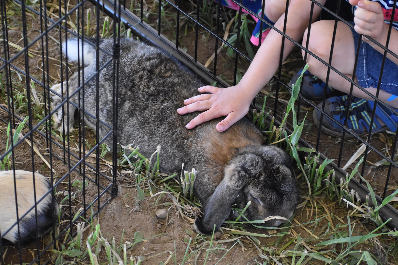 Floppy-eared rabbit enjoys the love