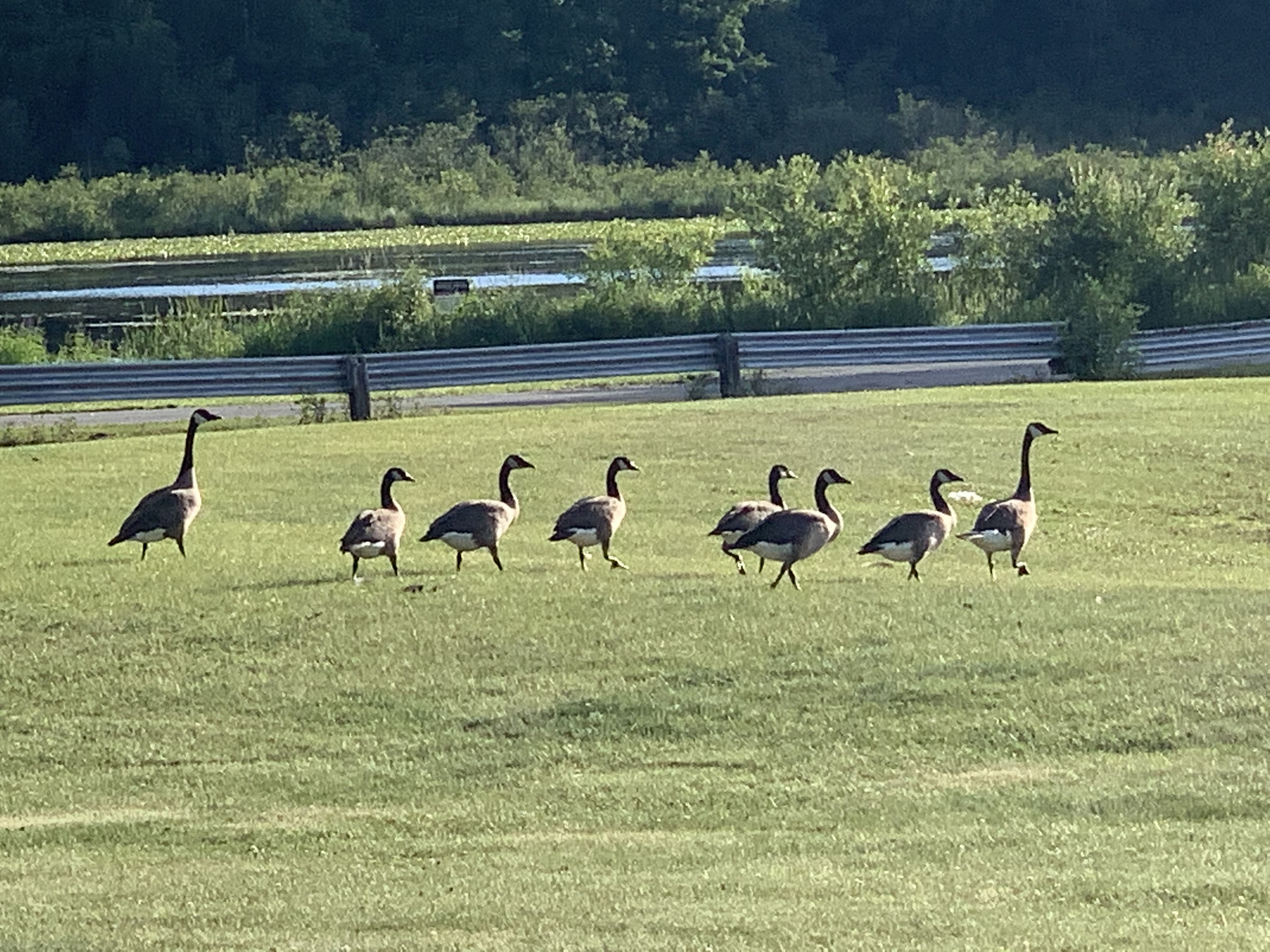 A family of geese walks through the field toward Pleasant Lake in Aniwa on July 12.Luke Reimer | NEW Media