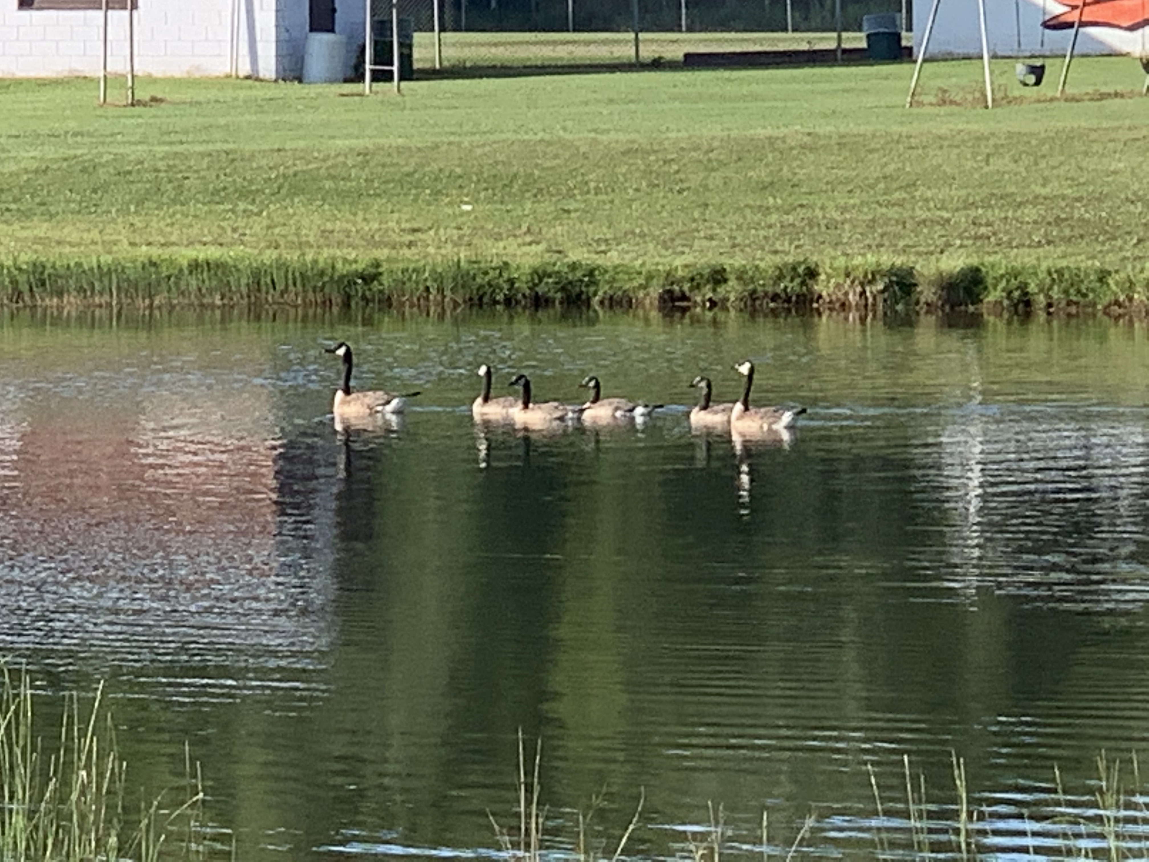 A family of geese swims in a small pond next to Pleasant Lake in Aniwa on July 12.Luke Reimer | NEW Media