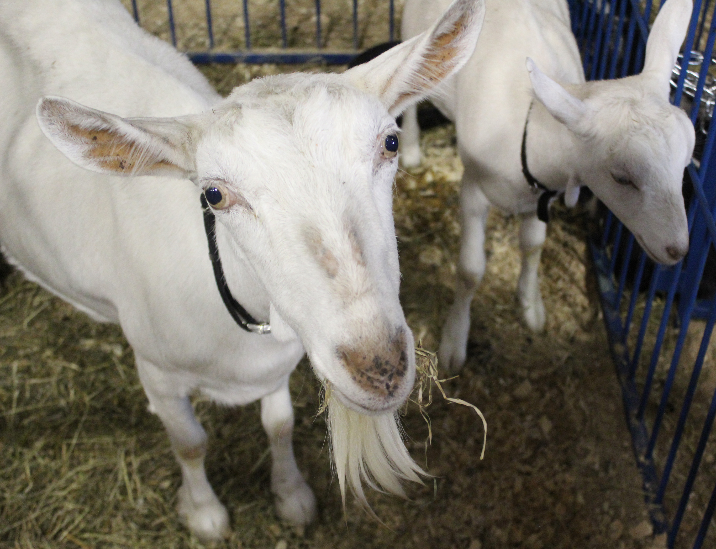 A goat peers up at the visitors watching it in its pen at the Shawano County Fair.<br />(Lee Pulaski   NEW Media)