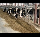 Many cows were poking their heads out of their feeding stations to greet visitors to Horsens Homestead Farms on April 24. The farm milks around 720 cows. Luke Reimer | NEW Media