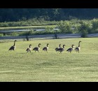 A family of geese walks through the field toward Pleasant Lake in Aniwa on July 12.  Luke Reimer | NEW Media