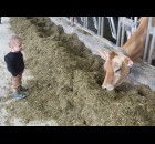 Lyle Process, 1, watches curiously as a dairy cow chows down on some feed June 27 during the Shawano County Brunch on the Farm at Back 40 Acres. The young boy and his family came from Howard to enjoy some down home agricultural cooking.  (Lee Pulaski | NEW Media)